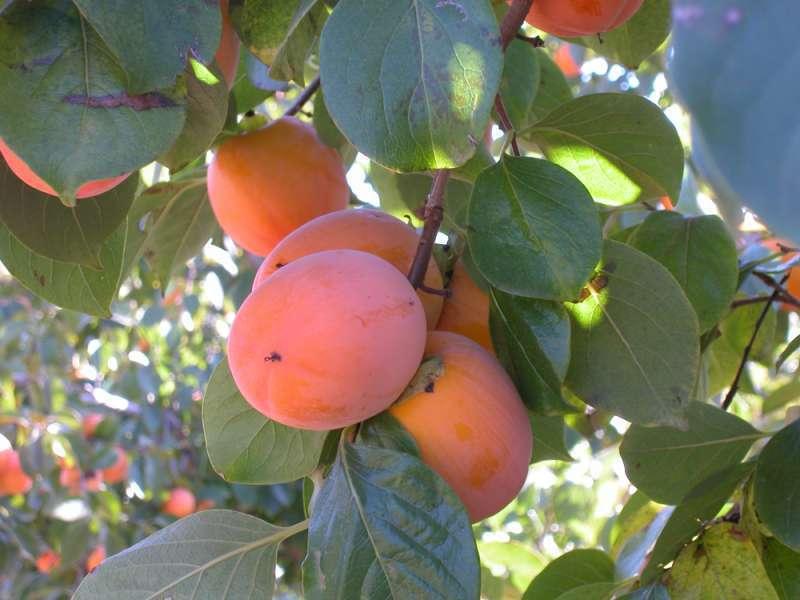 Fruta/EPDA