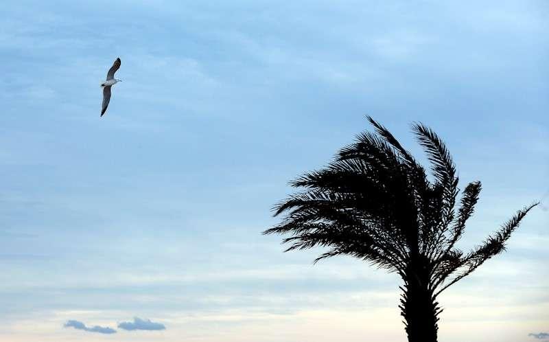 Una gaviota vuela junto a una palmera agitada por el viento. EFE/Kai Försterling/Archivo