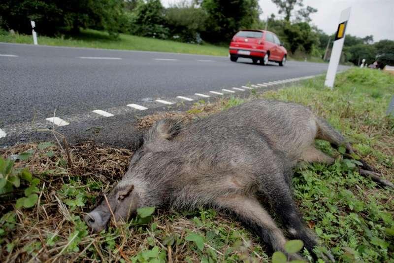 Un jabalí muerto en una carretera tras un accidente / EFE