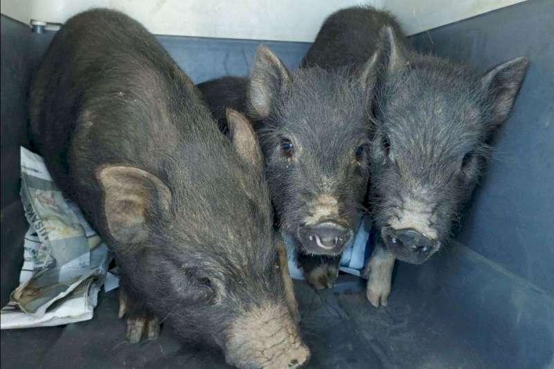 Cerdos Vietnamitas/EPDA
