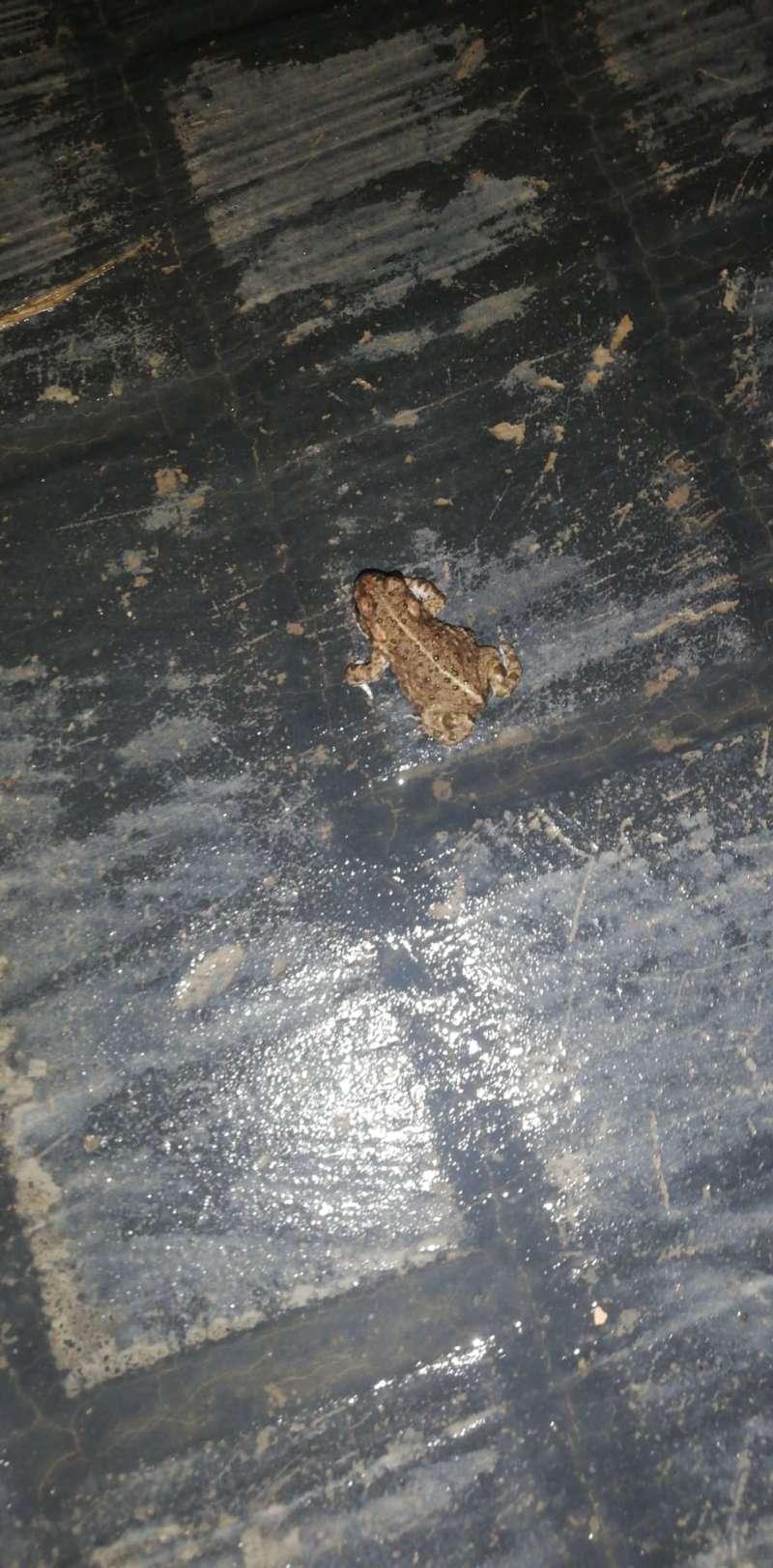 Una rana por una calle de Estivella tras la lluvia. EPDA