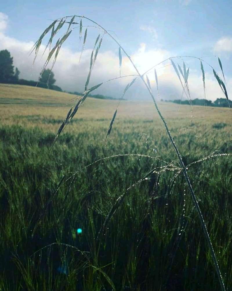 El temporal de lluvia beneficia al cultivo del cereal. LI