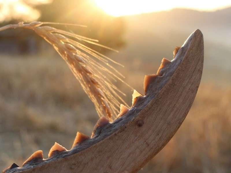 Reproducción de una hoz neolítica con dientes de sílex insertos en un mango de madera. / Niccolò Mazzuco