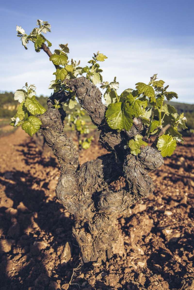 La DO Utiel-Requena y el CAECV organizan un webinar para analizar el sector vitivinícola ecológico