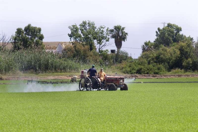 Dos agricultores trabajan en un arrozal del Parque Natural de la Albufera en Valencia.