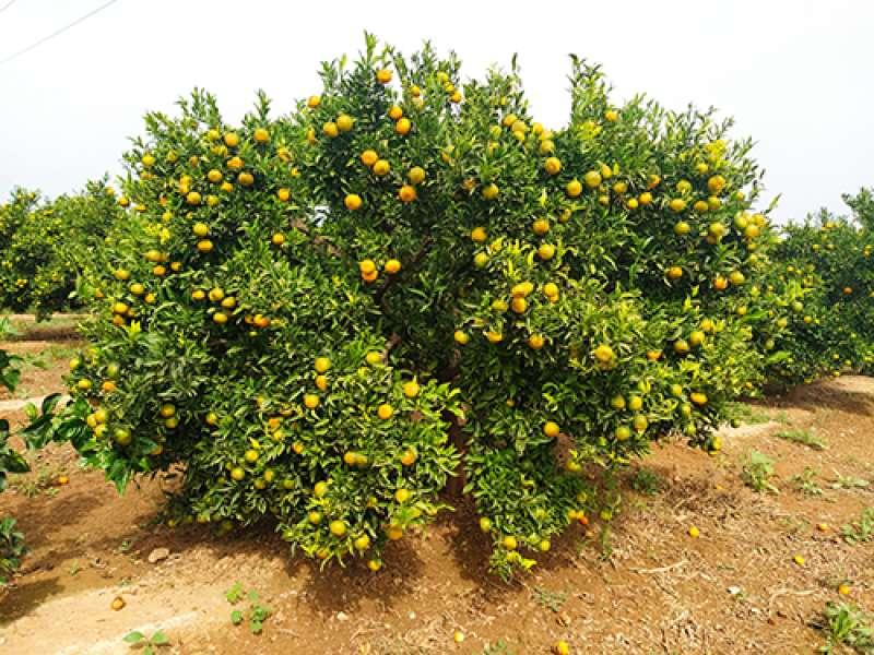 AVA-ASAJA,citricos. EPDA