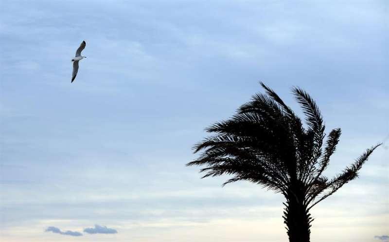 Una gaviota vuela junto a una palmera agitada por el vientoEFE/Kai Försterling/Archivo